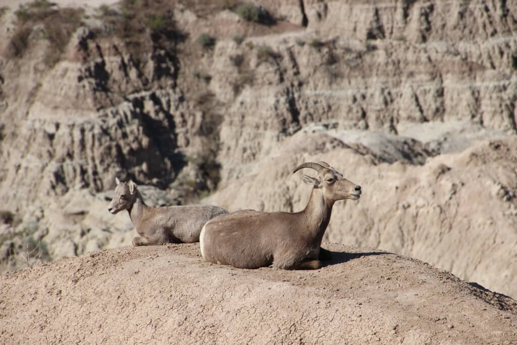 Badlands National Park Wildlife