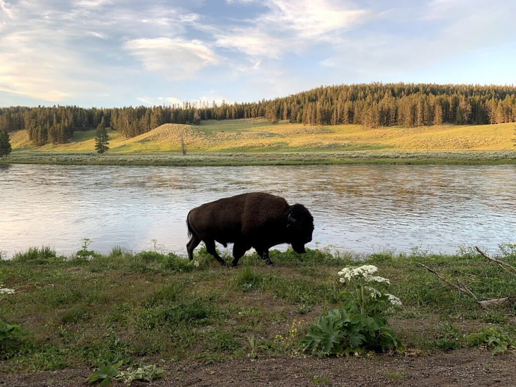 Yellowstone Hayden Valley Wildlife