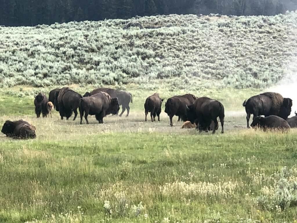 Yellowstone Lamar Valley Wildlife
