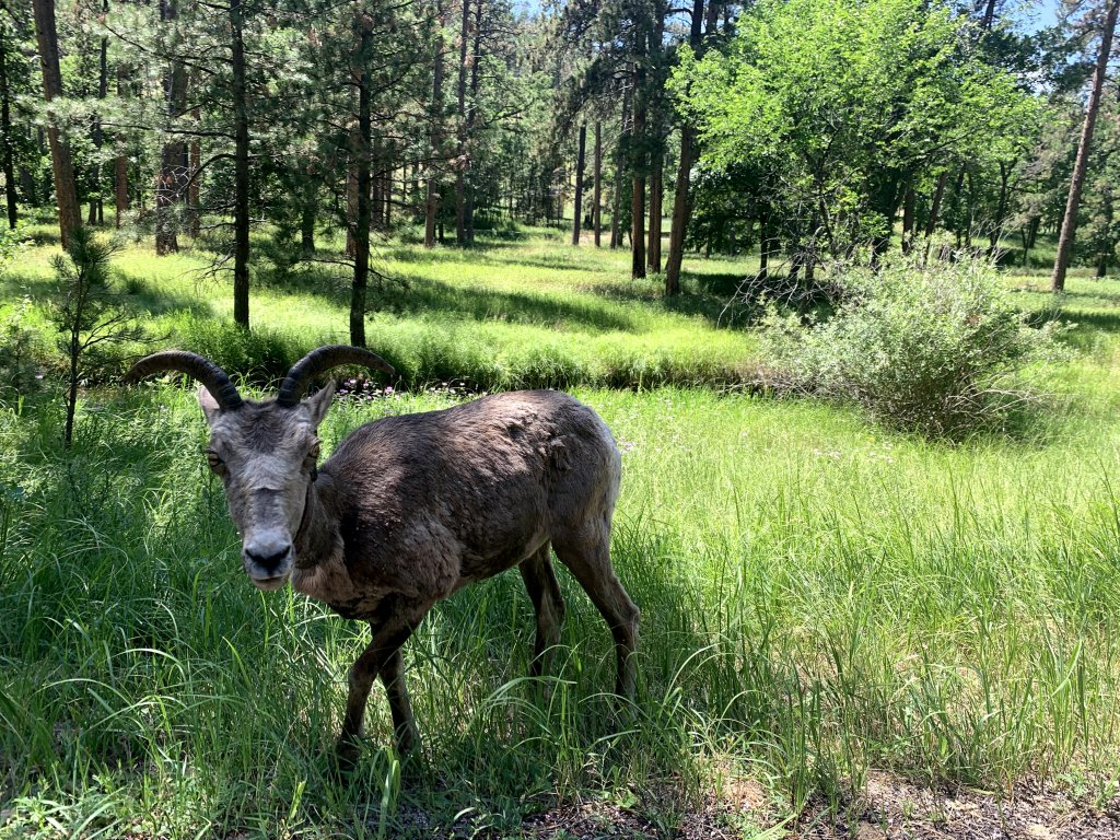 One Day Custer State Park itinerary Wildlife Loop Animals
