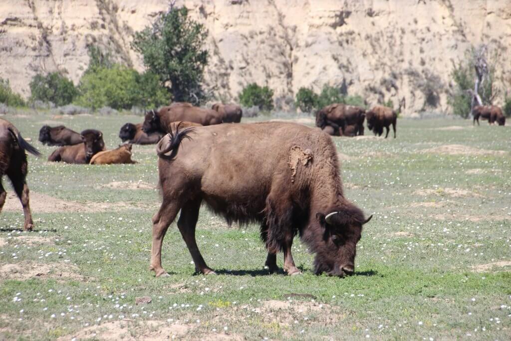 Wildlife Theodore Roosevelt National Park